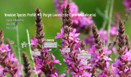 Invasive Species Profile #2: Purple Loosestrife