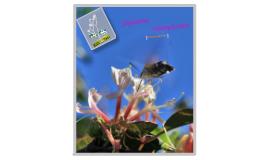Honeysuckles