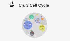 A & P Cell Cycle
