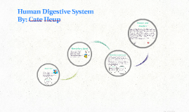 Copy of Human Digestive System