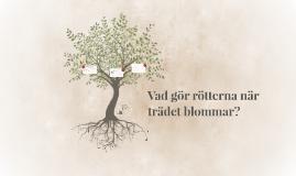 Vad gör rötterna när trädet blommar?