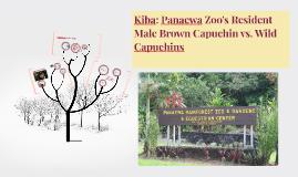 Kiba: Panaewa Zoo's Resident Male Brown Capuchin vs. Wild Ca