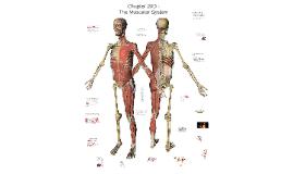 Chapter 20D - Musclar System