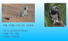 HARPY EAGLE AND THE RING-TAILED LEMUR