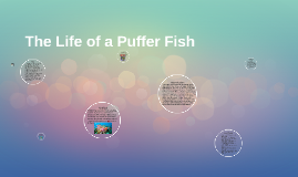 The Life of a Puffer Fish
