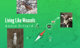 living like weasels by madison jones on prezi