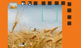 Copy of Zrejlo je žito