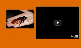 Copy of Madagascar Cockroach
