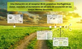 Copy of Merino Booroola derecho