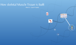 How Muscle Tissue is Built