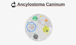 Copy of Ancylostoma Caninum