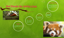 Red Panda By: Ashley
