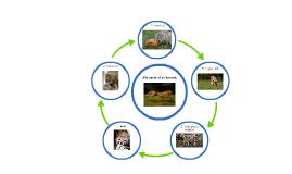 life cycle of a cheetah by Ivan Widjaya on Prezi