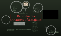 Reproductive System of a Stallion