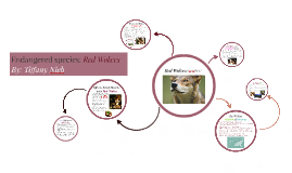 Endangered species: Red Wolves