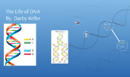 Life of DNA