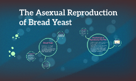Do yeast reproduce asexually