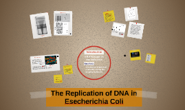 The Replication of DNA in Esecherichia Coli