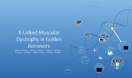 X-Linked Muscular Dystrophy in Golden Retrievers