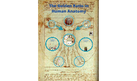 Copy of Golden Ratio and Human Anatomy