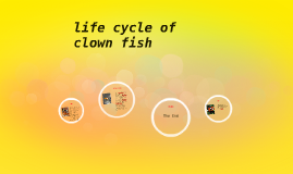 Lifecycle of clown fish by charlotte ball on prezi for Clown fish life cycle