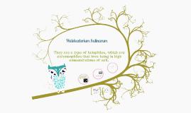Halobacterium salinarum
