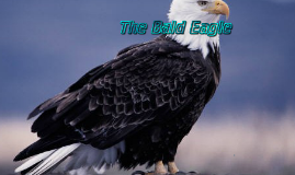 Copy of The Bald Eagle