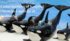 Consequences of Keeping Orcas in Captivity at SeaWorld