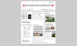 Zantedeschia aethropica