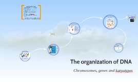 The organization of DNA