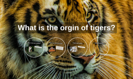 What is the orgin of tigers?
