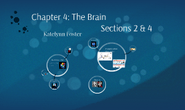 The Brain sec 2 & 4