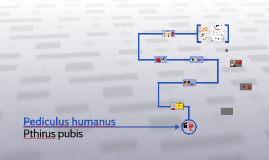 Pediculus humanus