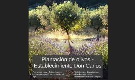 Plantación de olivos - Establecimiento Don Carlos