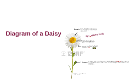 Diagram of a Daisy flower by Lorraina Kelly on Prezi