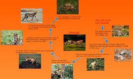 Life cycle of a cheetah