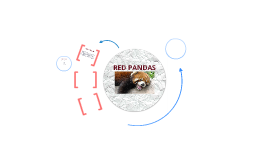 Copy of RED PANDAS