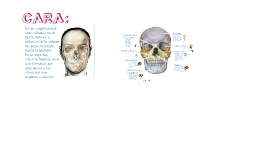 Copy of Anatomia: Huesos de la Cara