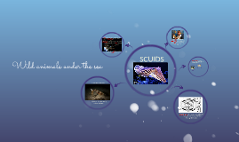 Wild animals under the sea: Scuids