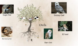 Copy of Owls