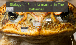 Biology of Rhinella marina The Bahamas
