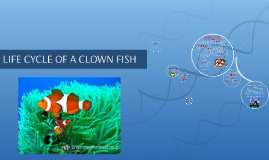 Copy of life cycle of a clown fish by felix ngumo on prezi for Clown fish life cycle