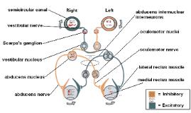 Vestibular Ocular Reflex