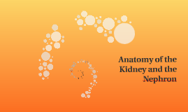Anatomy of the Kidney and the Nephron