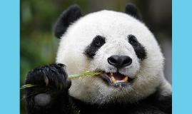 panda's maken gebruik van geursignalen om elkaars positie
