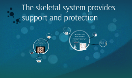 The skeletal system provides support and protection