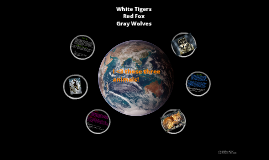 Endangered Animals; White Tiger, Red Fox and Gray Wolf