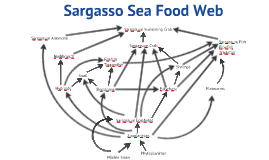 Copy of Sargasso Sea Food Web