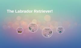 The Labrador Retriever!