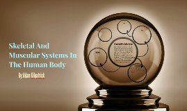 Skeletal And Muscular Systems In The Human Body
